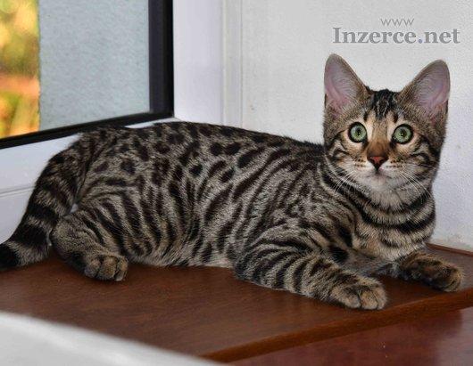 Bengálská kočka-koťátka se slevou
