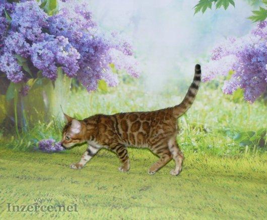 Bengálská kočka s PP