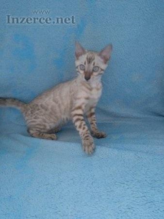 Bengálska koťata s PP