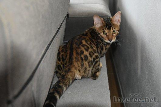 Bengálská koťata s PP