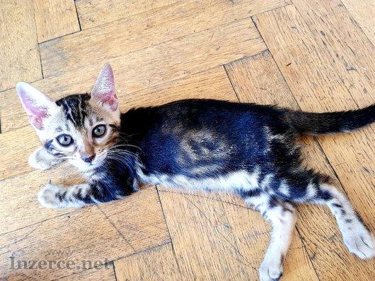 Bengalská koťátka