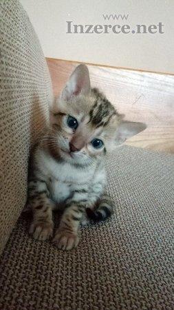 Bengálská rozetová koťata