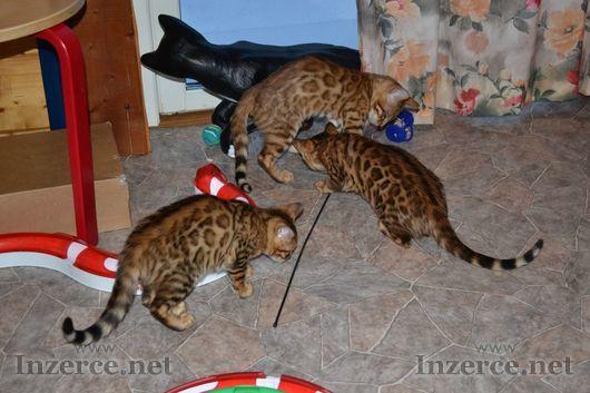 Bengálské koťata (nyní dostupné nové verze).