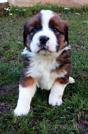 Bernský salašnický pes / Bernardýn