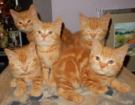 Britská ČERVENÁ koťátka s PP!