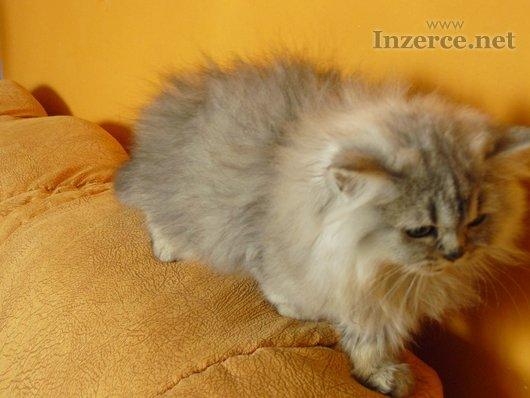 Britská dlouhosrstá kočička Barbara