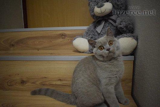 Britská kočička s PP