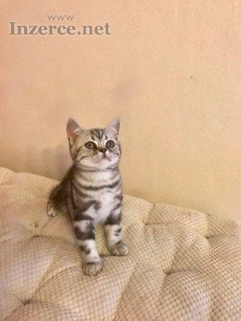 Britská kočička - whiskas - prodám