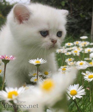 Britská kočka - kotata
