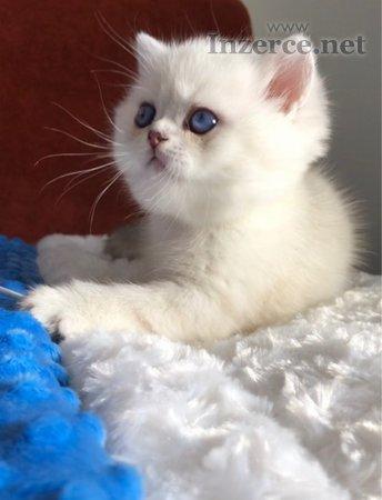 Britská koťata s modrýma očima