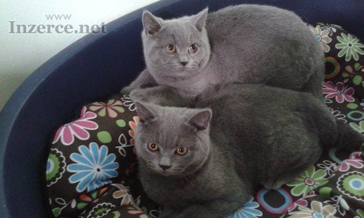 Britská koťata  s PP