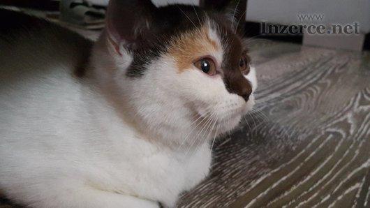 Britská koťátka