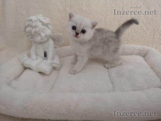 Britská koťátka bez P.P.