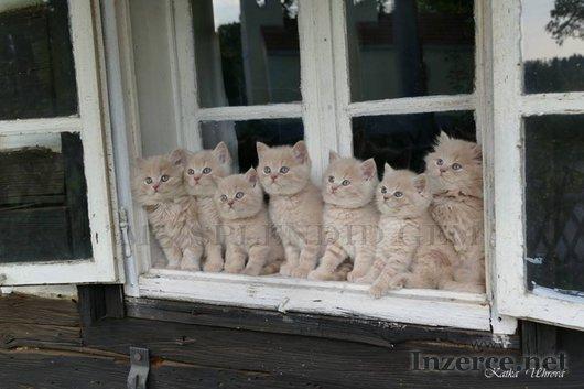Britská koťátka s PP