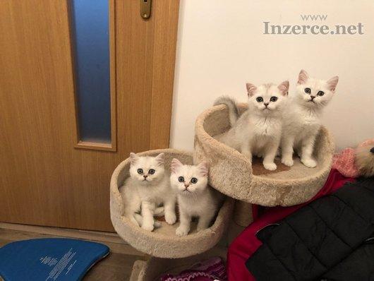Britská koťátka stříbrné činčila