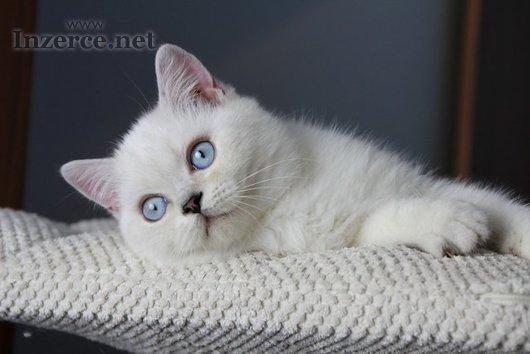 Britská, Skotská koťátka s PP