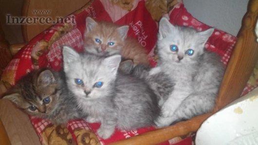 Britská Whiskas koťátka