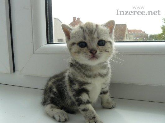 Britská whiskas  koťátka s PP