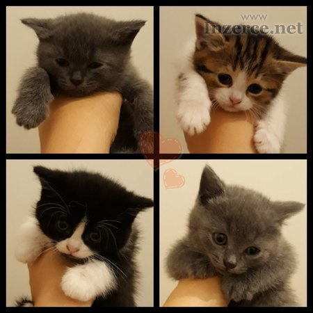 Britské kočičky