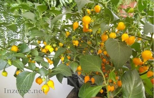 Chilli Biquinho Amarelo - semena