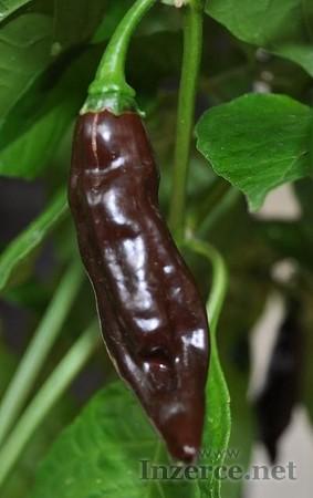 Chilli Fatali Brown - semena