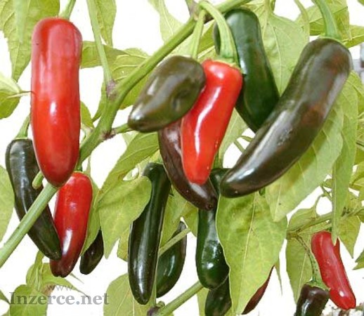 Chilli Jalapeňo mild - semena