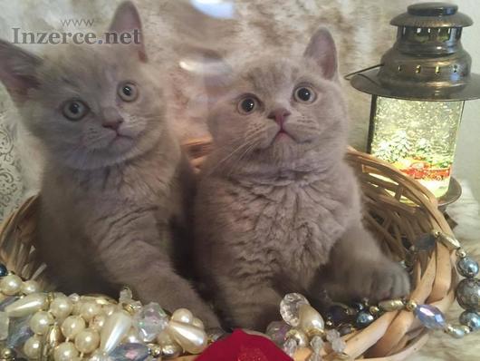Čistokrevné britské koťátko krátkých koťátek