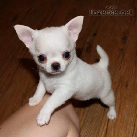 Čivava-krátkosrstá miniaturní