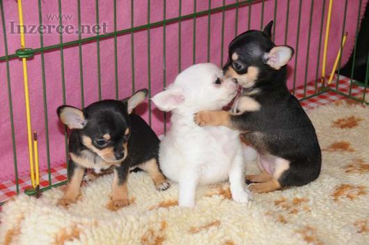 Čivava - prodám krásná štěňátka čivavy