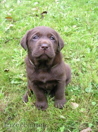 Čokoládová (tmavě hnědá) štěňátka labradora s PP