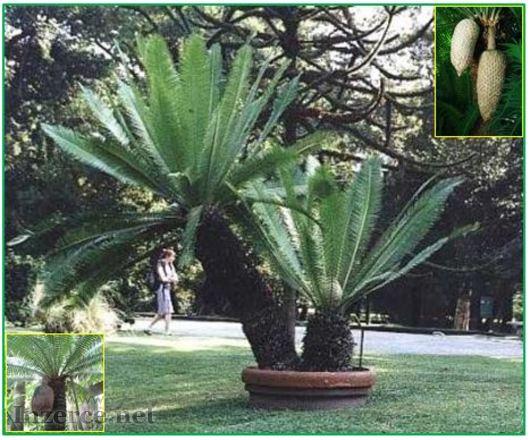 Cycas Dioon Spynulosum - naklíčená semena