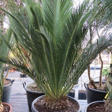 Cycas Macrozamia communis - nakl.semena,sleva 30 %
