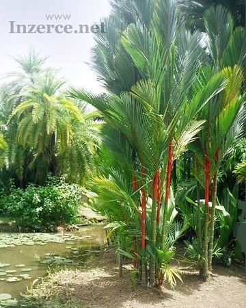 Cyrtostachys renda - naklíčená semena