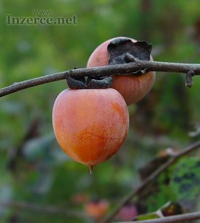 Diospyros Virginiana - semena