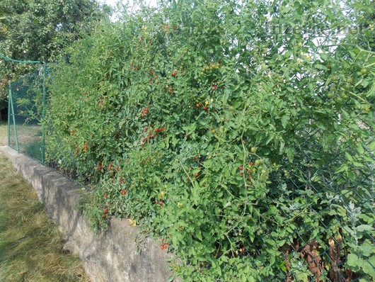 Divoké rajče - semena