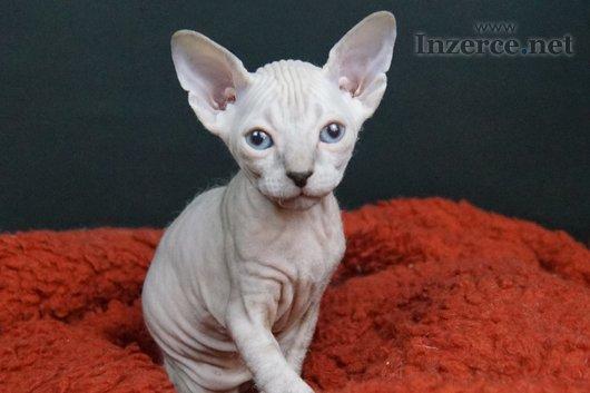 Don Sphynx - kočička