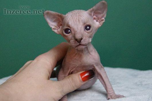 Don Sphynx koťata s PP k rezervaci