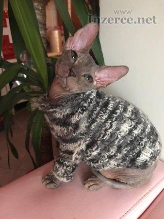 Don Sphynx koťátka s PP k prodeji