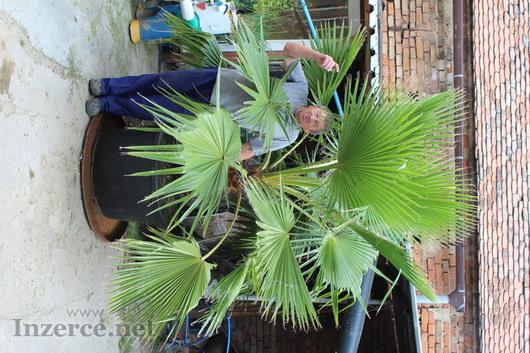 Egyptská palma