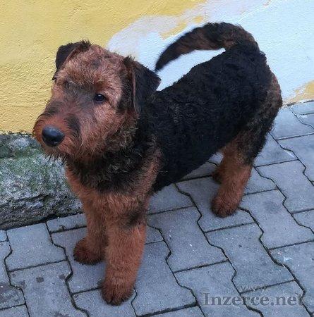 Erdelterier, pes s PP, 5 měsíců
