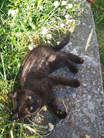 Evropská kočka dom- daruji  koťátka