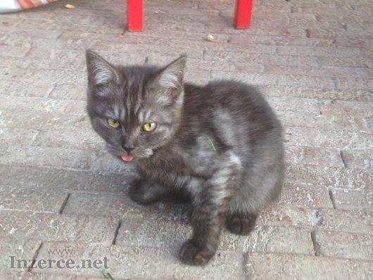 Evropská kočka - kotě