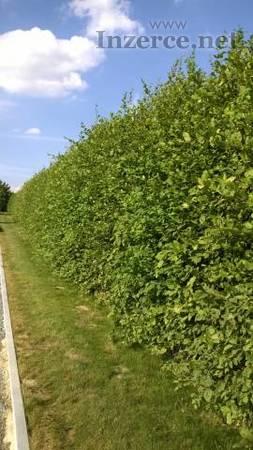 Habr obecný - kvalitní sazenice do živého plotu