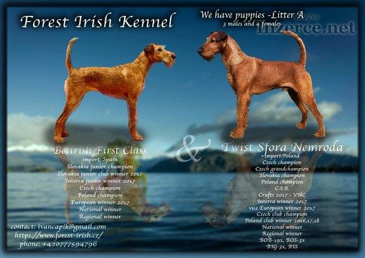 Irský teriér štěnňata