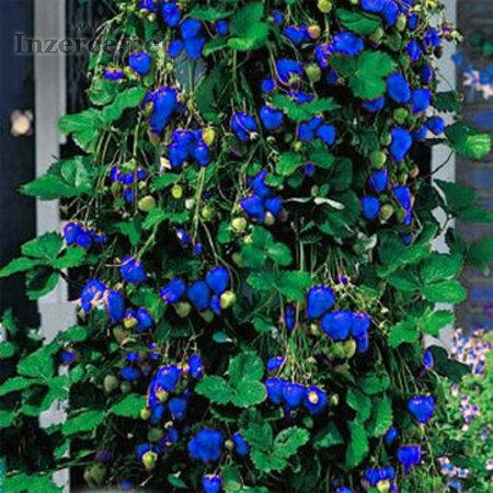 Jahody Modré popínavé - semena 50 ks