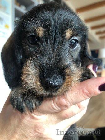 Jezevčík drsnosrstý trpasličí - psi