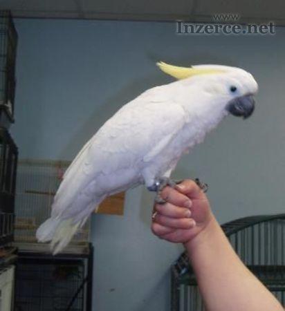Kakadu papoušci Pro Prodej