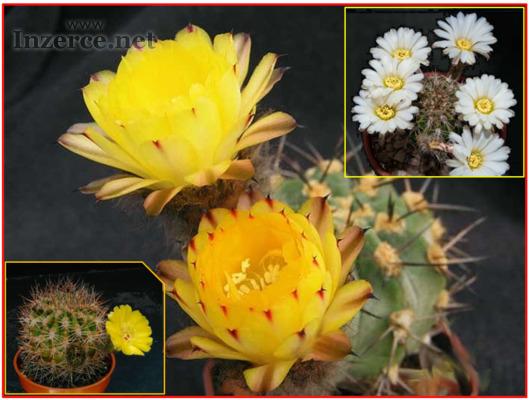 Kaktus Acanthocalycium směs druhů - semena