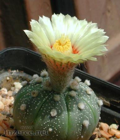 Kaktus Astrophytum asterias Tamaulipas - semena