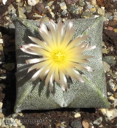 Kaktus Astrophytum myriostigma v. quadricostatum-s